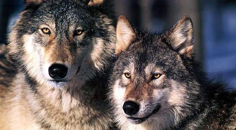 Which wolf wins?