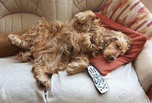 Cocker-spaniel-relaxing-Devon-Dog-Boarding1-300x203