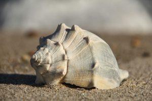 shell whelk